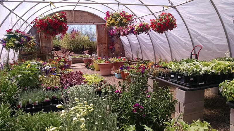"Greenhouse with hanging baskets in bloom and 4"" and 6"" pots of annuals"