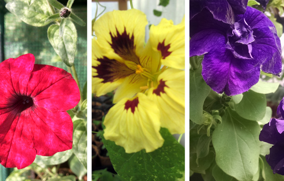 Colorful flowers for hanging baskets