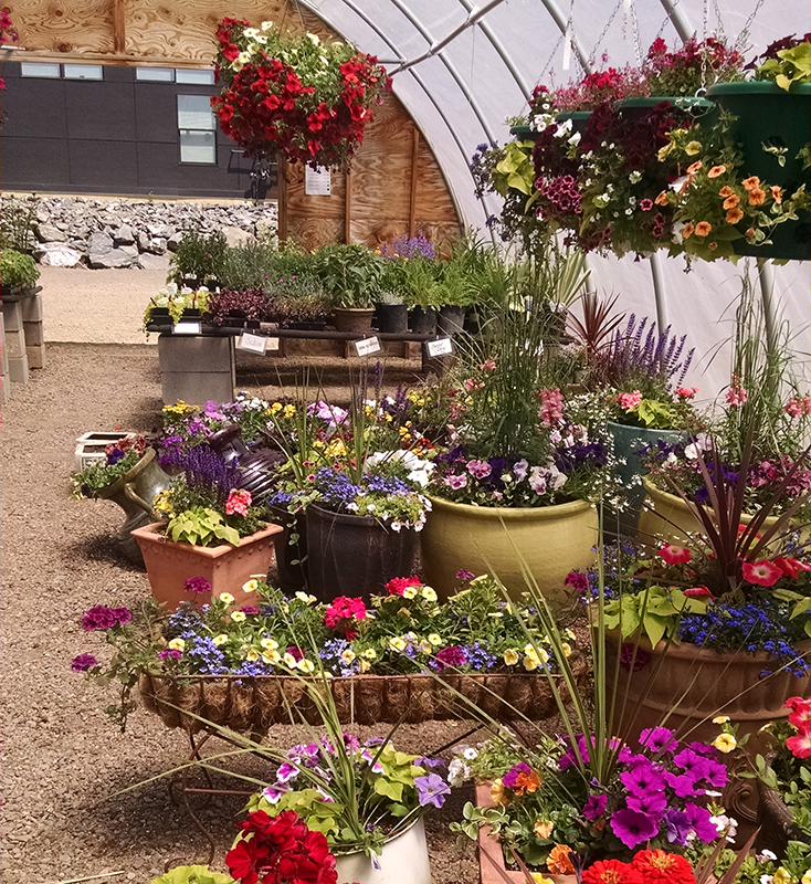 Greenhouse full of colorful flowering baskets and containers.
