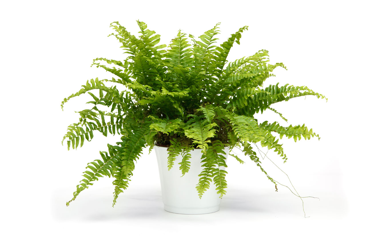 Boston Fern on a white background - a sophisticated rental plant for weddings.